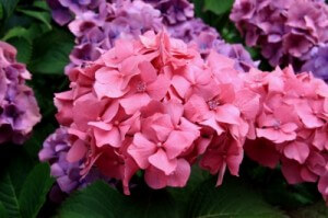 hydrangea flowers for your cabin